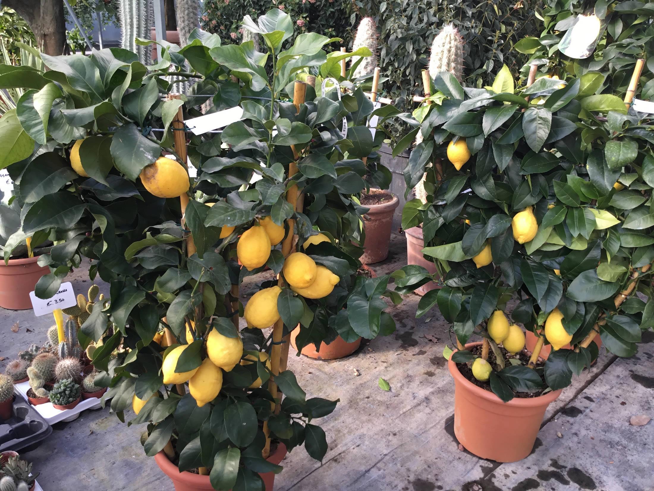 Piante e alberi di vivaio e servizi di giardinaggio e outdoor for Alberi frutta vendita